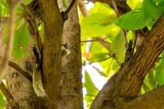 Squirrel eating food on tree Royalty Free Stock Photo