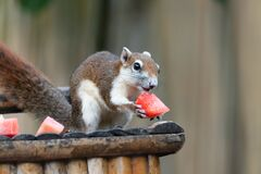 Free Squirrel Eating Fruit At Chaweng Beach In Samui Island, Thailand Royalty Free Stock Photography - 198001157