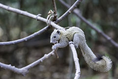 Squirrel eating fruit on nature vine in wild Royalty Free Stock Images