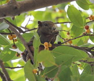 Squirrel. Is eating fruit on the tree Stock Photos