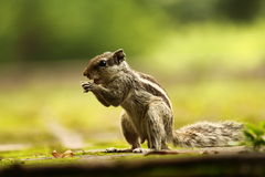 Squirrel eating at garden Stock Photography