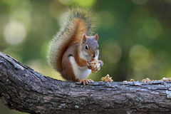 Squirrel Eating Granola Stock Photos