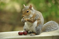 Squirrel Eating Grapes Royalty Free Stock Image