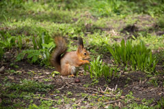 Squirrel eating in the grass royalty free stock photos