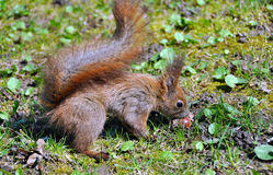 Squirrel eating Royalty Free Stock Photo