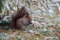 Squirrel. Eating in green grass stock photo