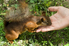 Squirrel eating from hand. Squirrel eating nut from hand Stock Photos