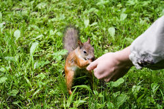 Squirrel eating from the hand Royalty Free Stock Photo