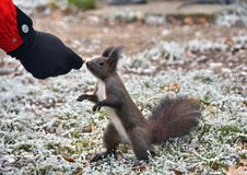 Squirrel. Eating from hand in winter stock photos