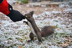 Squirrel eating from hand. Starving squirrel eating in winter time