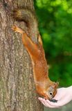Squirrel eating from hands Royalty Free Stock Photography