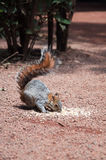 Squirrel eating II Royalty Free Stock Images