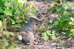 Squirrel eating leaves Stock Photo