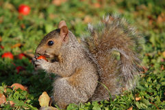 Squirrel eating little appel royalty free stock photo