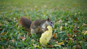 Squirrel Eating Mango. In The garden Stock Photo