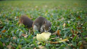 Squirrel Eating Mango. In The garden Stock Photography