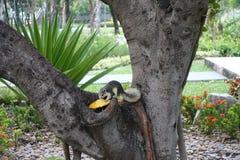 Squirrel eating mango in public park Stock Image