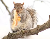Squirrel. Eating a Muffin, lol Stock Photography