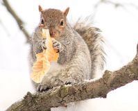 Squirrel. Eating a Muffin, lol Stock Photos