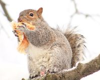 Squirrel. Eating a Muffin, lol Royalty Free Stock Photo