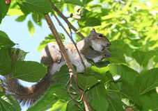 Squirrel eating mulberry on a mulberry tree Stock Photo