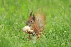 Squirrel eating mushroom Royalty Free Stock Image