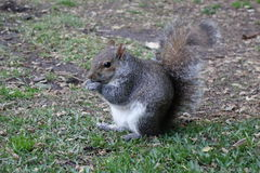 Squirrel eating a nut Royalty Free Stock Images
