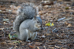 Squirrel eating a nut Stock Images