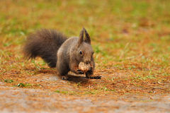 Squirrel eating nut. Squirrel eating wallnut in autumn Royalty Free Stock Image
