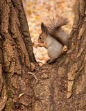 Squirrel eating a nut. Royalty Free Stock Photos