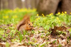 Squirrel eating nut Royalty Free Stock Photography
