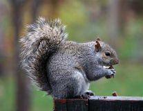 Squirrel eating a nut Stock Photos