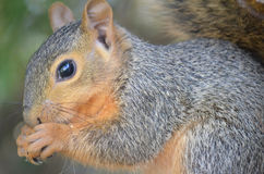 Squirrel Eating a Nut. In Alvarado, Texas Royalty Free Stock Images