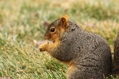 A Squirrel Eating 2 Stock Photography