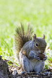 A squirrel eating a nut. A small squirrel illuminated by the sun stock image
