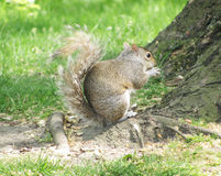 Squirrel eating a nut Royalty Free Stock Photo