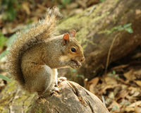 Squirrel eating nut Royalty Free Stock Image
