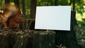 Squirrel Eating nut on an Autumn Forest and white Sign (Banner) for text stock video footage