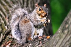 Squirrel1 Royalty Free Stock Photo