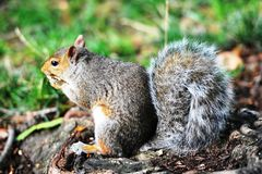Squirrel3 Royalty Free Stock Images