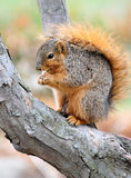 Squirrel eating nut on branch Royalty Free Stock Photos