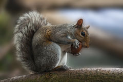 Squirrel eating a nut on branch Royalty Free Stock Image