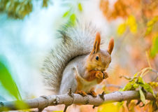Squirrel eating nut on the branch Stock Images