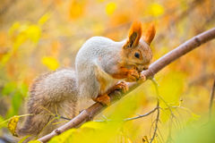 Squirrel eating nut on the branch Stock Image