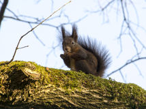 Squirrel eating a nut on a branch of a tree Stock Photos
