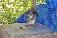 Squirrel Eating Nut in Cage Royalty Free Stock Images