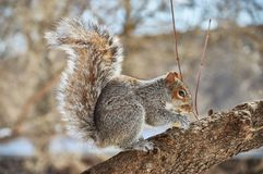 Squirrel eating a nut in Central Park New York City Stock Photography