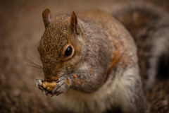Squirrel eating nut Stock Photography