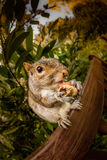 Squirrel eating nut Stock Photo