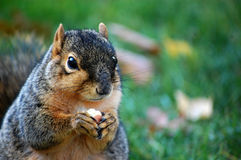 Squirrel eating nut Close up left royalty free stock images